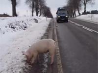 Sprzężone układy policyjne w pogoni za ...świnką