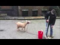 Kozy wydające ludzkie odgłosy