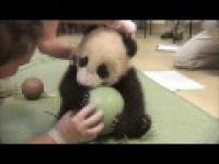 Słodka panda bawi się piłką.