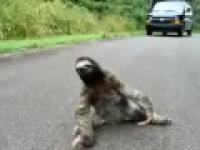 I leniwiec czasem może mieć gorszy dzień