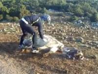 Przypadkowy rowerzysta odbiera poród krowy
