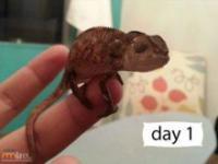 Kameleon od 1 dnia do 84