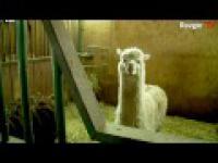 Bokser666 wygląda jak lama:O