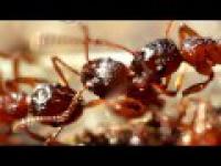 Czerwone Mrówki w Bardzo Dużym Powiększeniu
