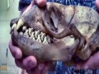 Czyja to czaszka?