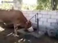 Samowystarczalna krowa piję wodę ze studni