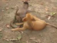 szczeniak niespodzianka zapasy małpa