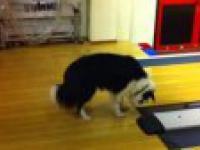 Pies vs czujnik przekraczania linii na kręgielni