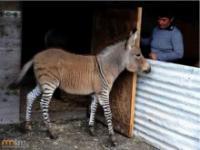 Skrzyżowanie zebry z osłem