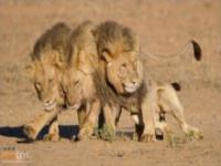 Lwy wracające z imprezy