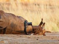 Lwy kradną aparat