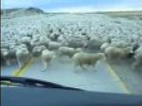 Jazda autem przez ogromne stado owiec