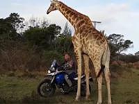 Żyrafa która pomyliła się co nie co