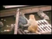 małpa ratuje drugą małpę na torach