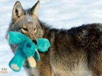 Dziki kojot przygarnia maskotkę