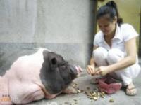 Lepiej uważać od kogo kupuje się świnki miniaturki