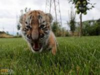 Mały tygrys i rodzinka owczarków