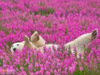 Niedźwiedzie polarne wśród kwiatów