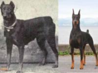 Jak zmieniły się psy w ciągu 100 lat?