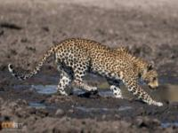 Leopard poluję w błocie