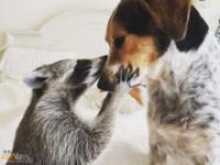 Szop wychowany przez psa