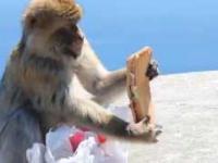 Makak i jego drugie śniadanie