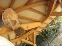 Usuwanie wielkiego gniazda szerszeni