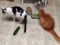 Koty które boją się ...ogórków