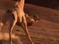 Lew vs żyrafa