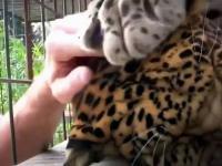 Na usługach leoparda