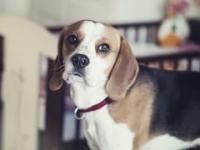 Dlaczego kochamy beagle