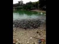 Pora karmienia wygłodniałych ryb w stawie