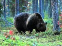 Niedźwiedź przed zimą jest jak student...