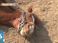 Koń udaje że jest martwy