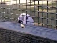 Papuga inżynier