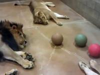 Leniwe lwy grają w piłkę