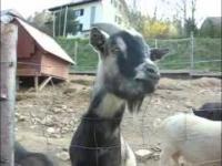 Zepsute kozy - kompilacja