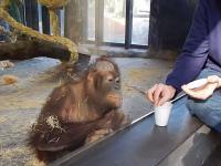 Reakcja małpy na magiczną sztuczkę