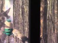Szalona wiewiórka
