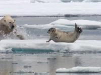 Niedźwiedź polarny zaskakuje fokę