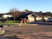 Wychodzisz sobie do pracy, a przed twoim domem biją się dwa kangury