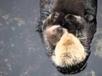 Śpiąca wydra z swoim 1-dniowym maleństwem
