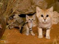Dzikie koty, o których mogliście nie słyszeć