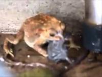 Ropucha próbuje połknąć szczura