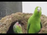 Papugi na fazie