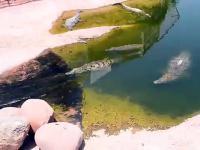 A krokodyl na zjeżdżalni wodnej zjeżdża tak!
