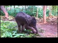 Mały słonik bawi się trąbą