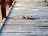 Odważna wiewiórka próbuje upolować węża
