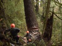 Wycinka drzew w Oregonie