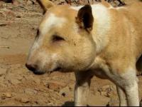 Indianie łapią psa aby pozbyć go ropy
